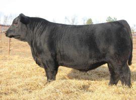 Bull & Heifer Development